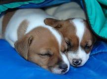 Hefboom Russell Puppies2 stock afbeelding