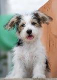 Hefboom Russell Puppy Royalty-vrije Stock Fotografie