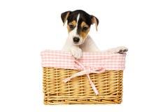 Hefboom Russell Terrier Stock Fotografie