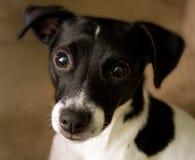 Hefboom Russell Terrier Royalty-vrije Stock Afbeelding
