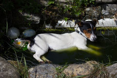 Hefboom Russell Terrier stock afbeelding