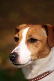 Hefboom Russell Terrier Stock Foto's