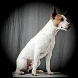 Hefboom Russell Terrier Royalty-vrije Stock Foto's