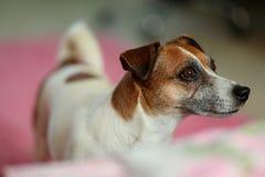 Hefboom Russell Terrier Stock Afbeeldingen