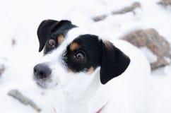 Hefboom Russell Terrier De hond loopt op een verlaten steenstrand royalty-vrije stock foto