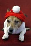Hefboom Russell Terrier met de Hoed van de Kerstman stock fotografie