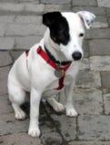 Hefboom Russell Terrier Pup Stock Afbeeldingen
