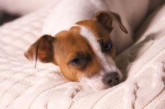Hefboom Russell Terrier Puppy Napping Stock Afbeelding