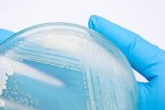 Hefe in Petrischale, Mikrobiologie für Bildung stockbild