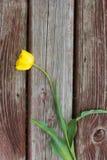 Heftige gelbe Tulpe, die auf einer hölzernen Planke liegt Stockfotos