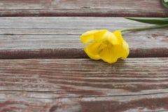 Heftige gelbe Tulpe, die auf einer schäbigen hölzernen Planke liegt Stockfotos