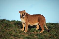 Heftige Löwin, die an einem sonnigen Tag brüllt stockfoto
