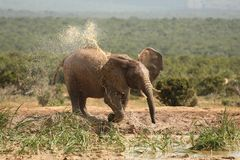 Heißer afrikanischer Elefant stockfotos