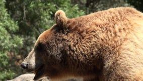 Heißer müder wilder Braunbär stock footage
