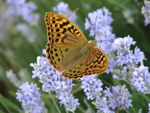 Heißer Sommertag auf einem Lavendelfeld stockbilder