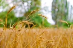 Heißer Sommertag Ohren des goldenen Weizenabschlusses oben lizenzfreies stockfoto