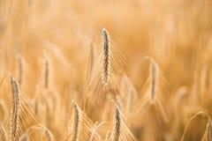 Heißer Sommertag Ohren des goldenen Weizenabschlusses oben Stockfotos