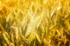 Heißer Sommertag Ohren des goldenen Weizenabschlusses oben Hintergrund von reifenden Ohren des Wiesenweizenfeldes Reiches Ernte K Stockfotografie