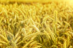 Heißer Sommertag Ohren des goldenen Weizenabschlusses oben Hintergrund von reifenden Ohren des Wiesenweizenfeldes Reiches Ernte K lizenzfreie stockfotos