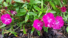 Heißes Rosa-Blumen Lizenzfreies Stockfoto