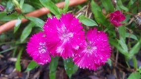 Heißes Rosa-Blumen Lizenzfreie Stockfotos