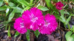Heißes Rosa-Blumen Stockbilder