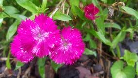 Heißes Rosa-Blumen Stockfotografie