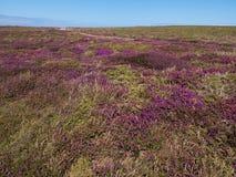 Heide auf der wilden Atlantikküste in Bretagne Stockfotos
