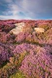 Heide auf Rothbury-Terrassenporträt Lizenzfreie Stockfotografie