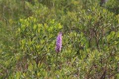 Heide beschmutzte Orchidee Lizenzfreies Stockfoto
