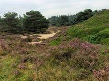 Heide bijEpe natuurpark de Veluwe Royaltyfria Foton