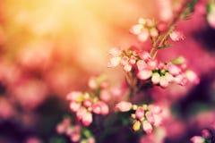 Heide blüht auf einem Fall, Herbstwiese in glänzender Sonne Stockbild