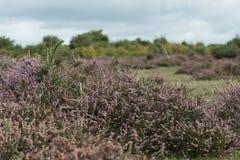 Heide in bloei royalty-vrije stock fotografie