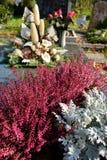 Heide callung zoals plantend op een graf bij al heiligendag Stock Foto