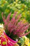 Heide in de herfsttuin Stock Foto