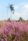 Heide in der Landschaft Stockfotos