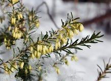 Blumen der weißen Heide Lizenzfreie Stockfotos