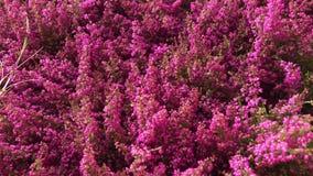 Heide in Garten-Center stock footage