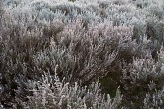 Heide with hoarfrost in the early morning with fog Stock Images