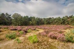 Heide in Kalmthout Belgien stockfotos
