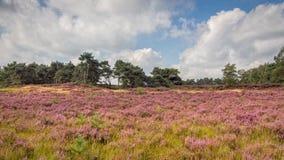 Heide in Kalmthout Belgien lizenzfreie stockbilder