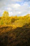 Heide met Berch-bomen stock afbeeldingen