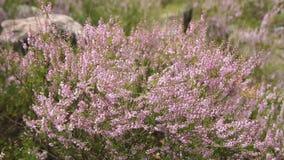 Heide purpere bloemen stock videobeelden