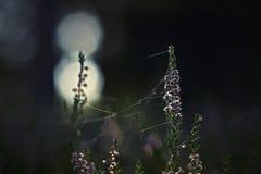 Heide- und Spinnennetz Stockfotografie
