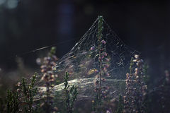 Heide- und Spinnennetz Lizenzfreie Stockfotos