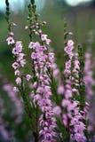 Heide (vulgaris Calluna) Royalty-vrije Stock Fotografie