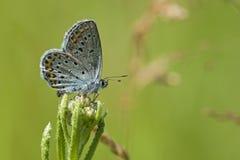Heideblauwtje, bleu Argent-clouté, Plebejus Argus photo libre de droits