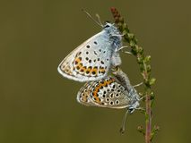Heideblauwtje, Silver-studded Blue, Plebejus argus. Heideblauwtje / Silver-studded Blue (Plebejus argus stock photo