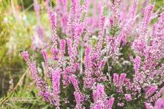 Heidebloem op het gebied Stock Fotografie