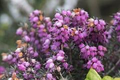 Heideblume in der Blüte Lizenzfreies Stockbild